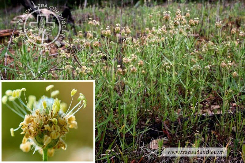 Plantago psyllium L. 1