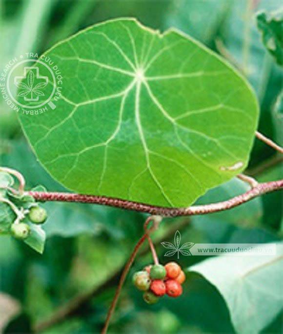 Stephania tetrandra S. Moore 1