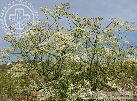 Saposhnikovia divaricata (Turz.) Schisch. 1