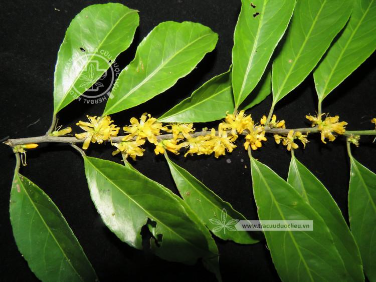 Indoroucheria griffthiana (Planch.) Hall.f. 1
