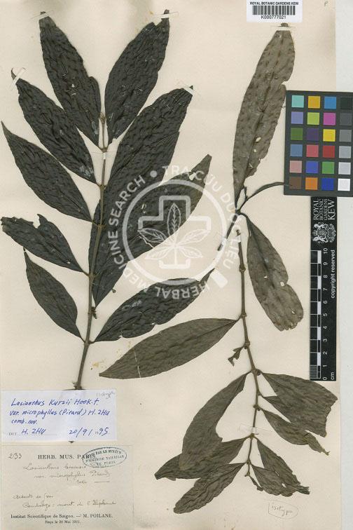 Lasianthus hoaensis Pierre ex Pitard 1