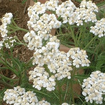 Achillea alpina L